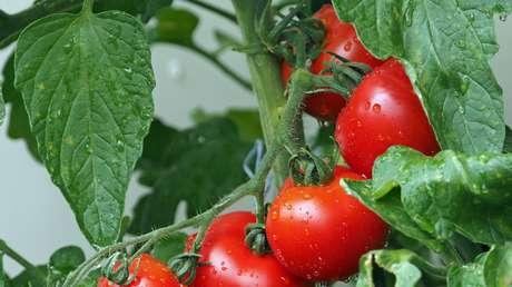 Japón autoriza por primera vez en su historia la venta de tomates con genoma editado para tratar la hipertensión