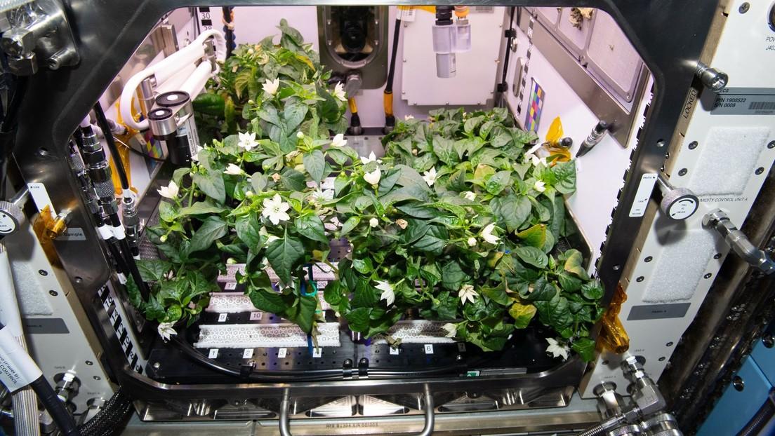 """""""Houston, tenemos un pimiento"""": astronautas de la NASA obtienen los primeros chiles picantes cultivados en el espacio (FOTOS)"""