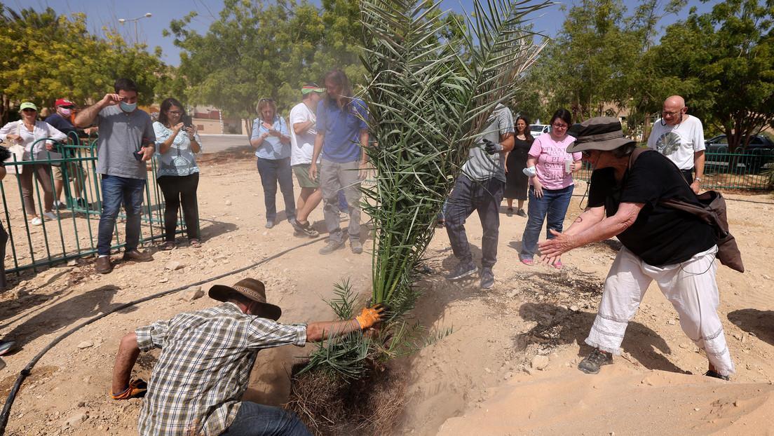 Plantan semillas de más de 2.000 años de antigüedad y este es el resultado