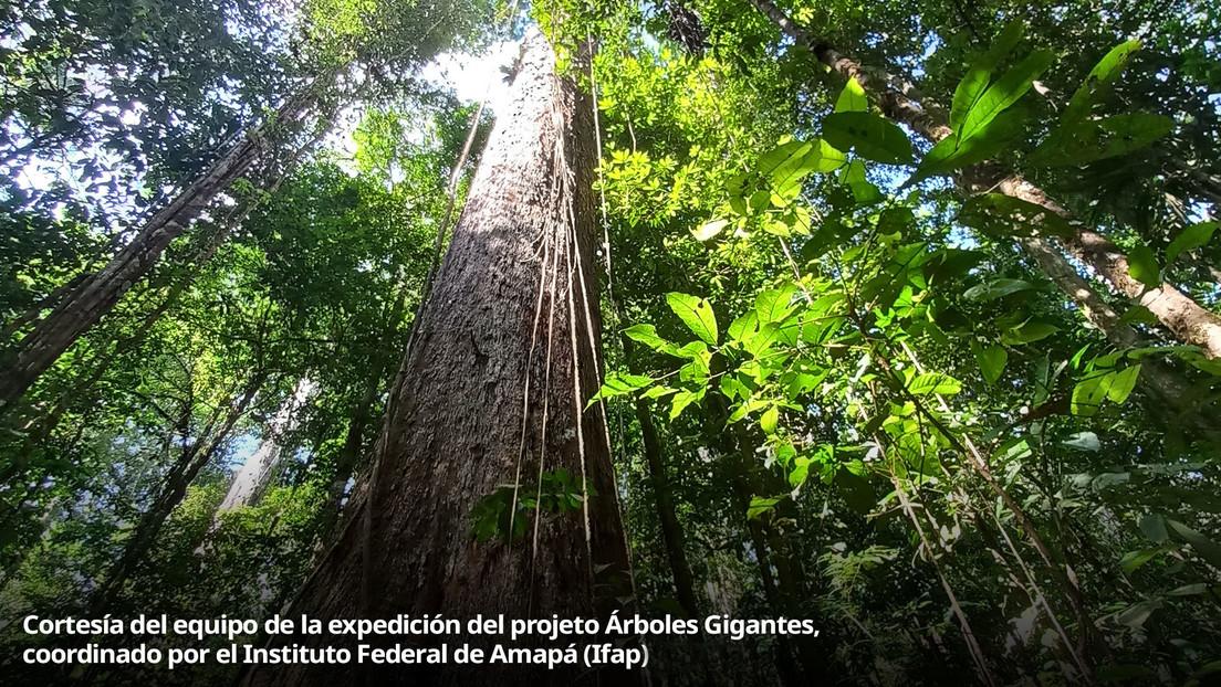 En busca de árboles gigantes escondidos en las profundidades de la Amazonía (VIDEO)
