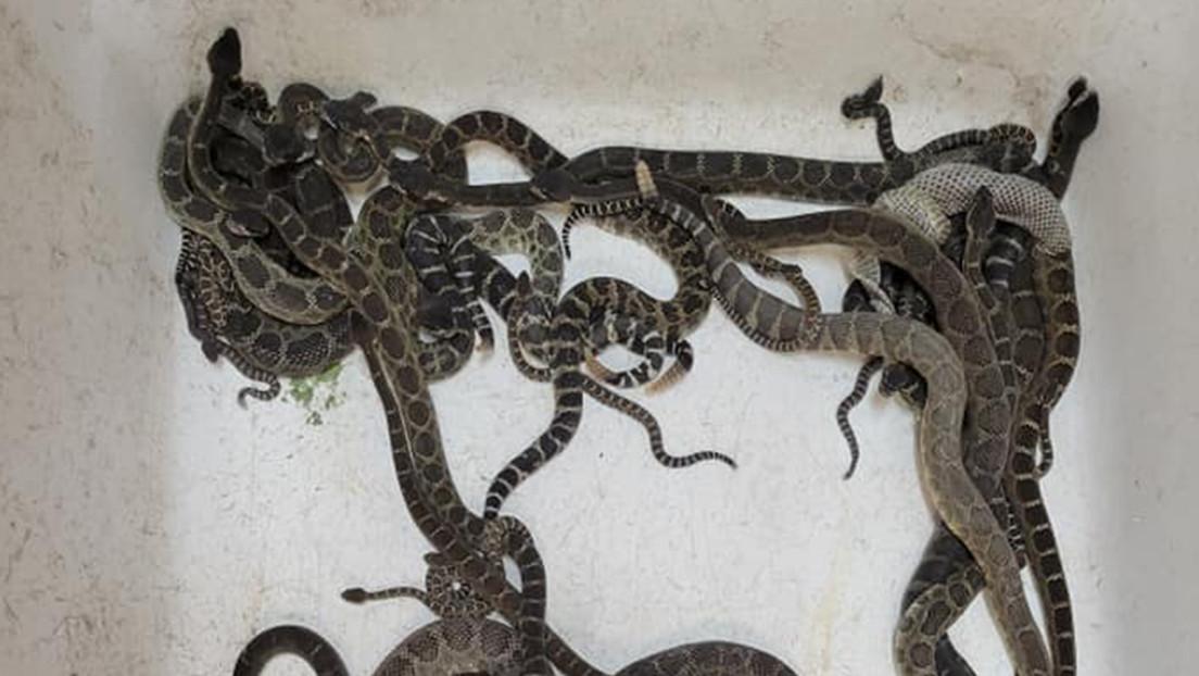 FOTOS: Descubren cerca de 90 serpientes de cascabel enredadas debajo de la casa de una mujer en EE.UU.