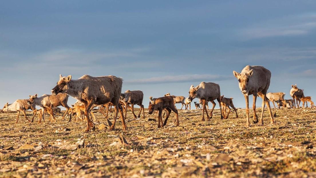 El cambio climático convierte los refugios invernales de los animales migratorios en territorios hostiles que dificultan la reproducción
