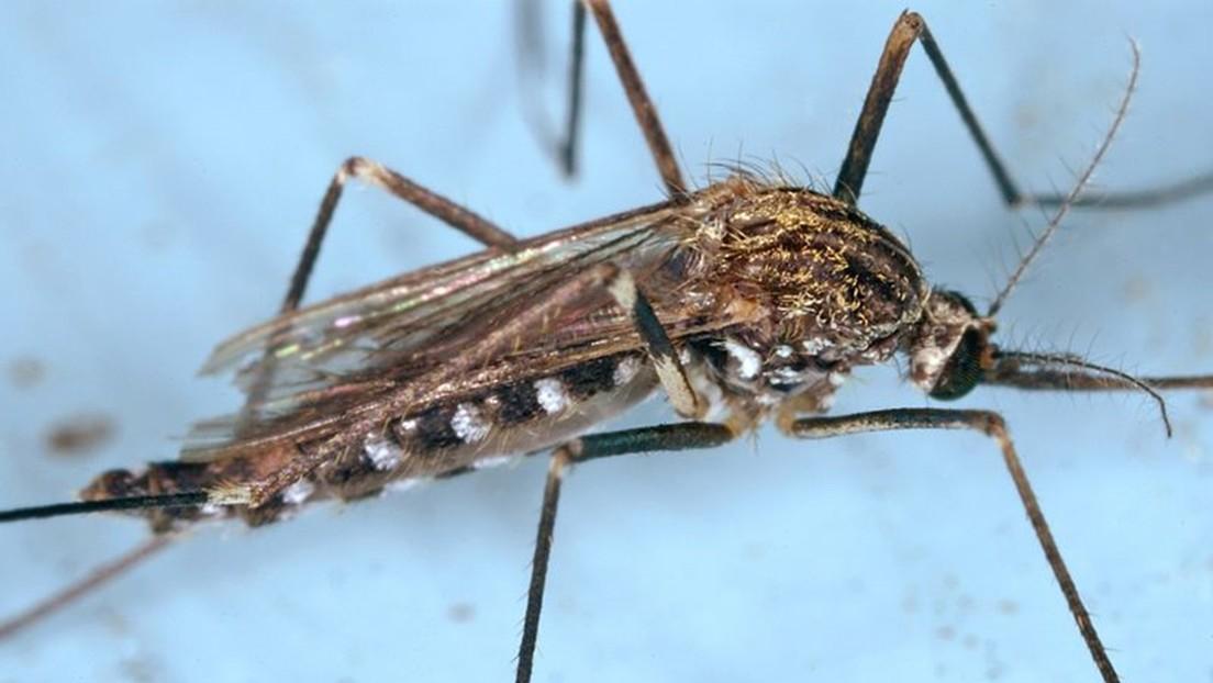 Una especie coreana de mosquitos resistente al frío se propaga por el norte de Italia y podría ser un vector para virus