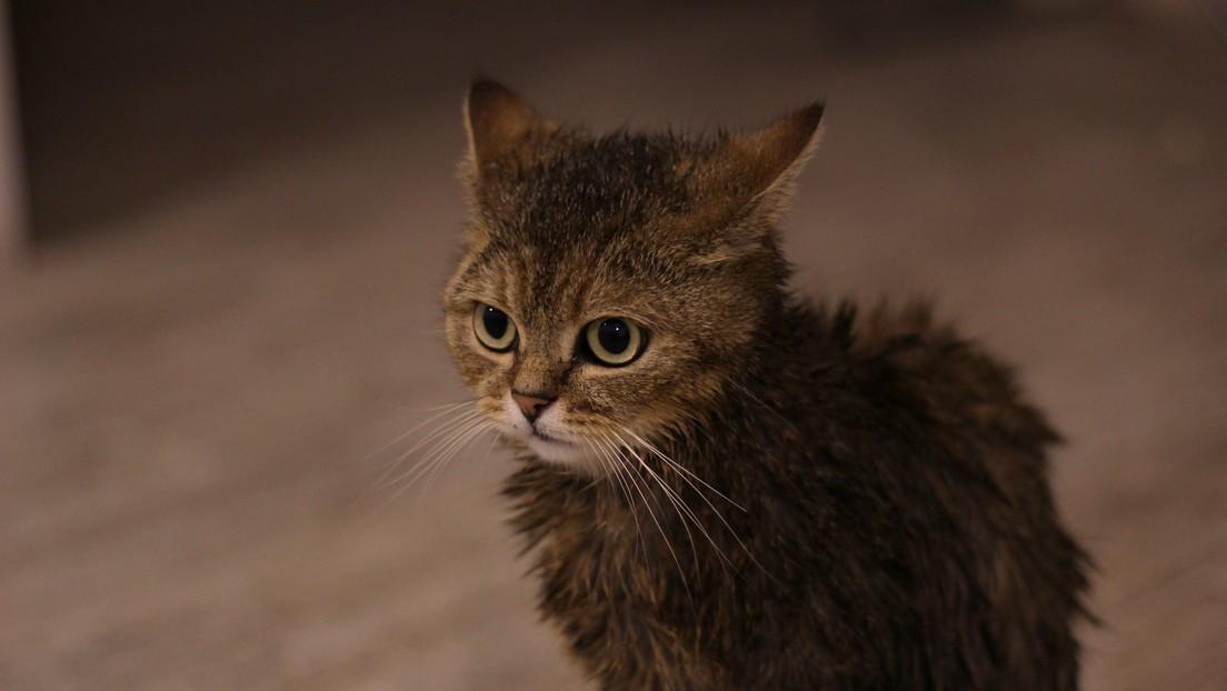 Arrestan a un hombre en Japón por publicar un video en el que hace nadar a su gato en una bañera