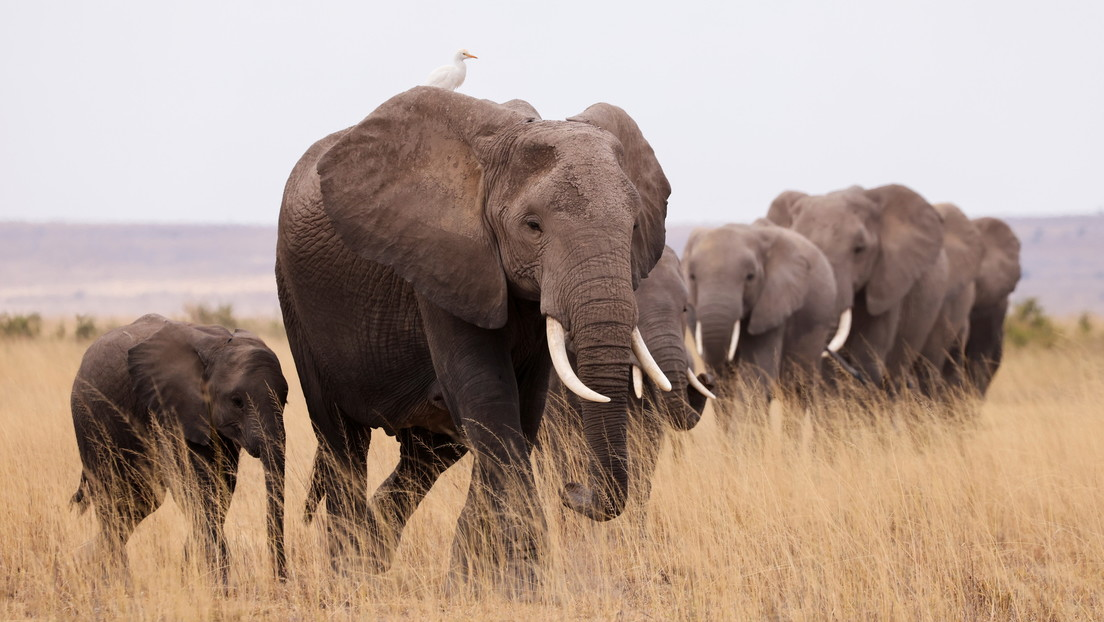 Un elefante pisotea hasta la muerte a un supuesto cazador furtivo y salva a su manada