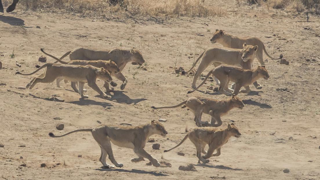 Una veintena de leonas abrevando de un río alineadas hombro con hombro sorprenden visitantes de un parque nacional  (VIDEO)