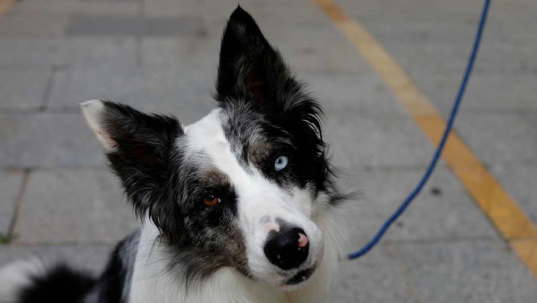 """""""Sentencia pionera"""": Otorgan la custodia compartida de un perro a una pareja en España"""