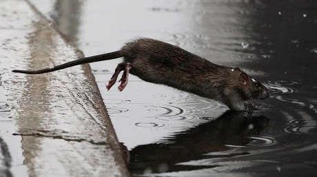 Alerta en Nueva York por el aumento récord de casos de una rara enfermedad trasmitida por ratas