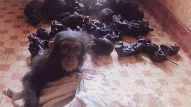 El horror del tráfico de especies en los ojos llenos de miedo de un chimpancé
