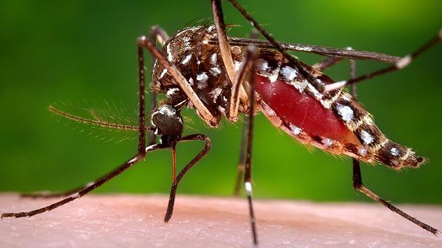 Brasil se arma con mosquitos genéticamente modificados contra el dengue