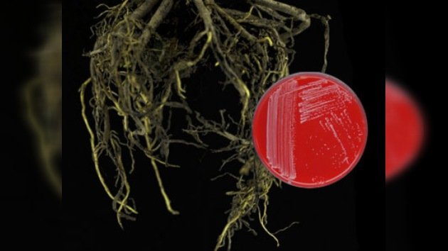 Enzima bacteriana disminuye riesgo mortal de la cocaína