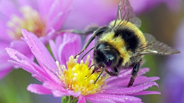 Estudio: La extinción de abejorros pone en peligro la agricultura en Europa