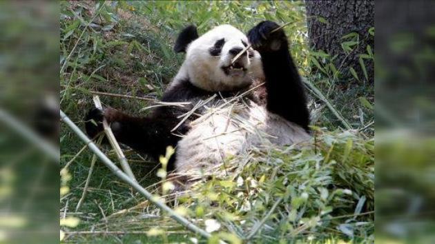 Japón pagará 500 mil dólares a China por muerte de un panda