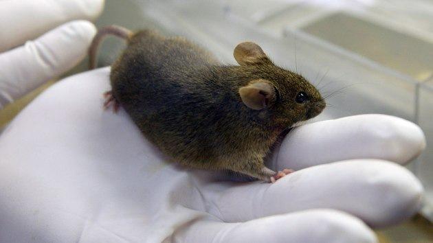 Científicos japoneses clonaron un ratón a partir de una gota de sangre