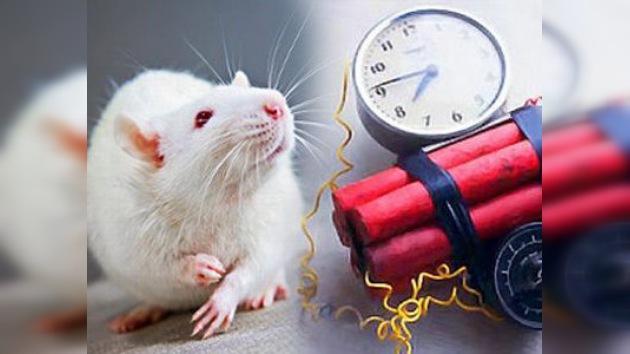 En Colombia entrenan roedores para buscar explosivos