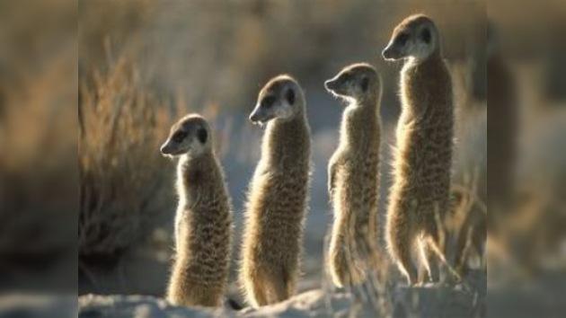 Una suricata encuentra el amor a través de Internet