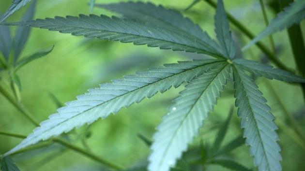 Estudio: el cannabis podría frenar el crecimiento de tumores cerebrales