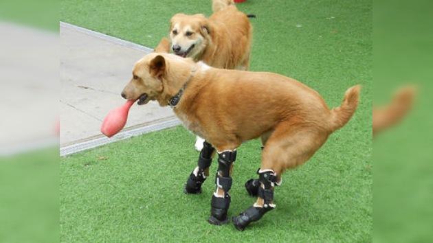 Naki, el único perro con prótesis biónicas en todas sus patas