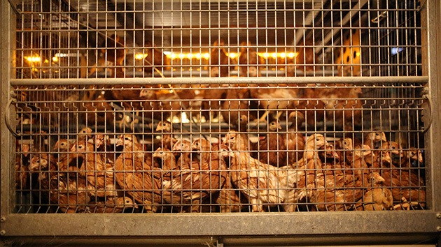 La FDA permite el uso de antibióticos en animales pese a su riesgo para los humanos