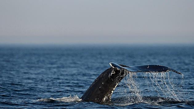 Resuelven el misterio del 'graznido' en el océano Antártico