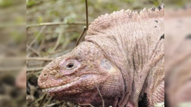 El enigma de la iguana rosada de Galápagos, se resolverá pronto