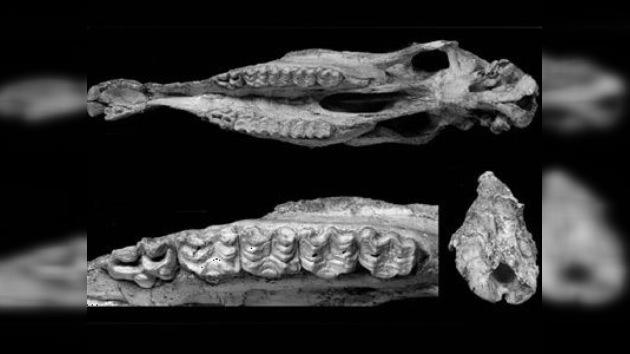 Hallan en China un cráneo de un animal que vivió hace cinco millones de años