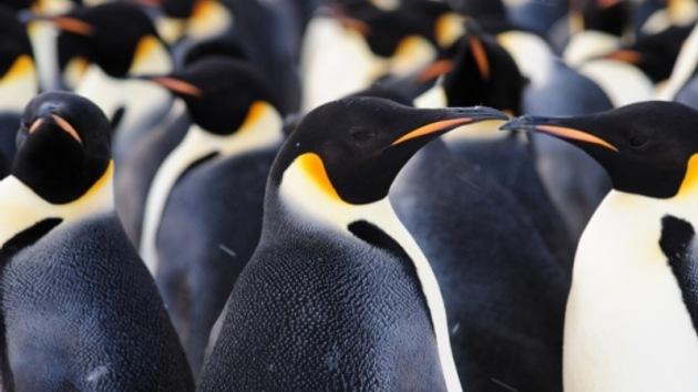 Descubren una nueva colonia de 9.000 pingüinos en la Antártica