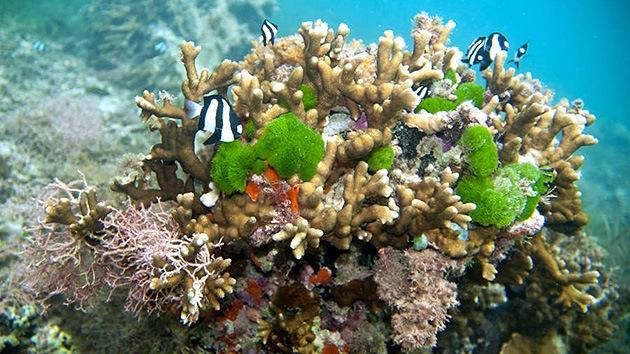 Hasta los corales disponen de armas biológicas