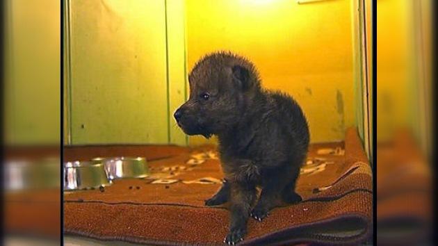 En un zoo siberiano una gata 'adopta' a un lobezno