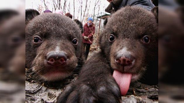 Un zoológico ruso salva de la muerte a dos ositos tibetanos huérfanos