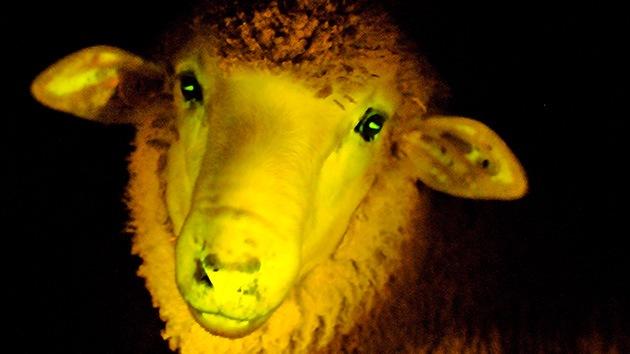 Uruguay 'da a luz' a los primeros corderos fluorescentes genéticamente modificados