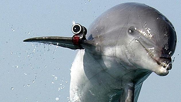 Fotos: Los delfines militares de Crimea entrarán al servicio de la Marina rusa