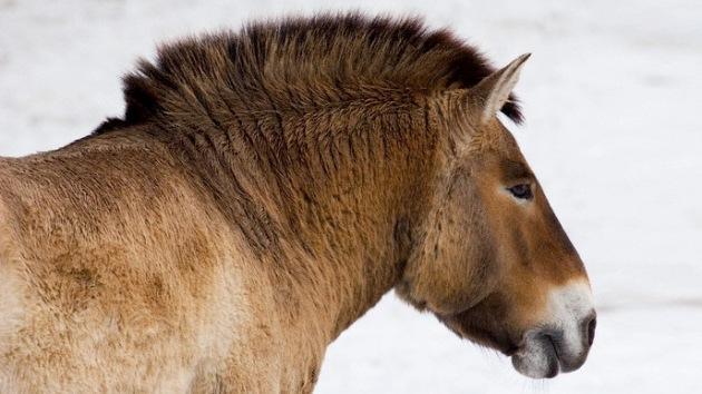 Descifran el ADN de un caballo de 700.000 años, el más antiguo hallado hasta ahora