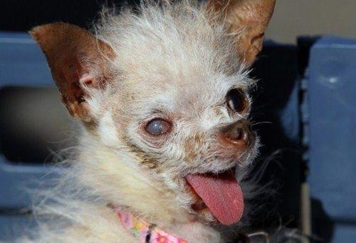 Un concurso a cara de perro: California elige al chucho más feo del planeta