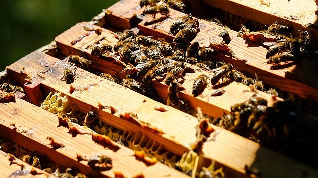 Las abejas en EE.UU. mueren por parásitos y un raro virus israelí
