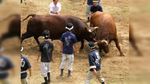Las peleas de toros ganan popularidad en Japón