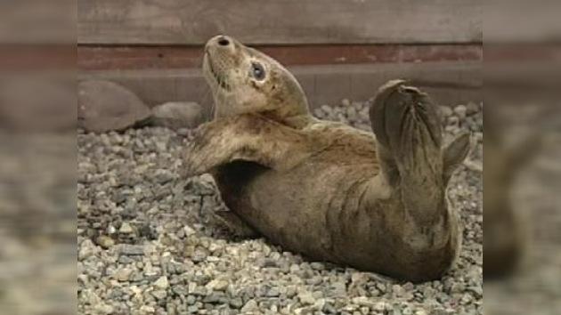 Un cachorro de foca herido, rescatado por los habitantes de una isla