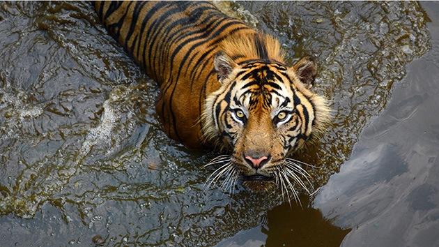 El virus del moquillo canino mata a tigres, pandas y leones en la India