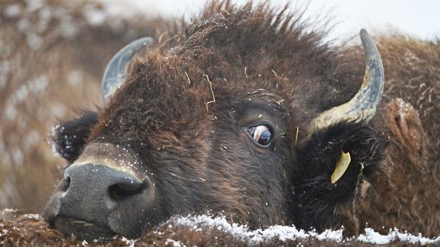 """Científicos: Por qué preocuparse por una catástrofe, """"los bisontes de Yellowstone solo jugaban"""""""