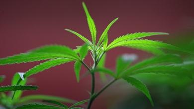 Cómo usar el aceite de cannabis para el cáncer de próstata
