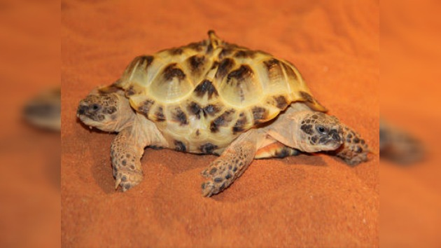 Exhiben en Kiev una tortuga mutante de dos cabezas