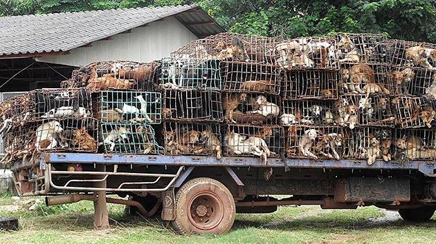 Traficantes asiáticos mejoran el sabor de la carne de perro con una tortura insoportable
