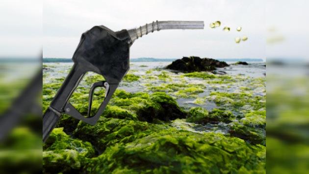 Científicos japoneses empezaron a producir biocombustible de algas marinas