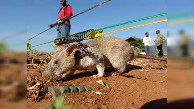 Ratas-zapadoras detectoras de explosivos