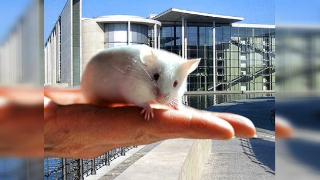 """17 ratones fueron evacuados del Parlamento alemán a un ambiente """"amistoso"""""""