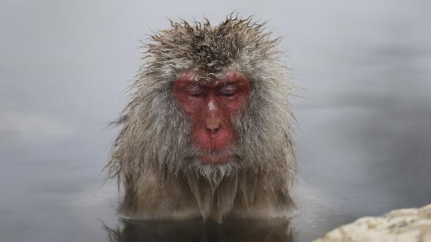 Los 'monos de nieve' que saben cómo lidiar con el frío