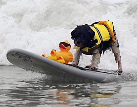 Reunión de perros surfistas en playa de California