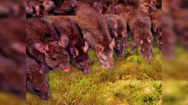 China invadida por ratas y ratones