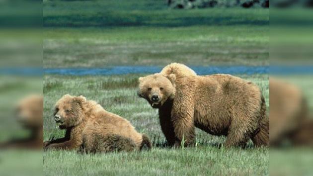 A los osos de Yellowstone ya no les basta con llevarse la cesta