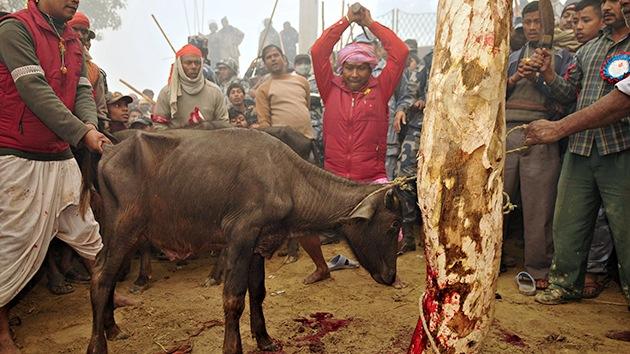 Imágenes estremecedoras: Sacrificio masivo de animales en honor a una diosa en Nepal